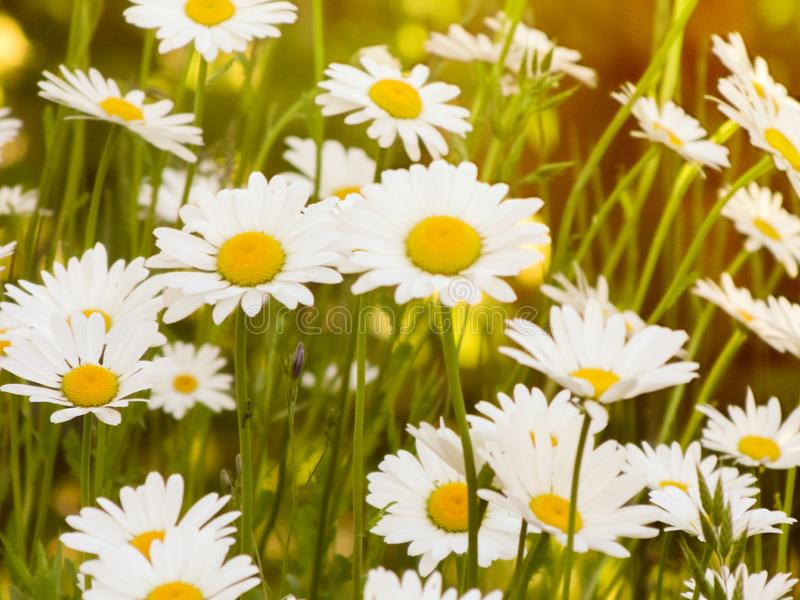 Tall field daisies grow in tall grass on a green meadow in a large garden. stock photo