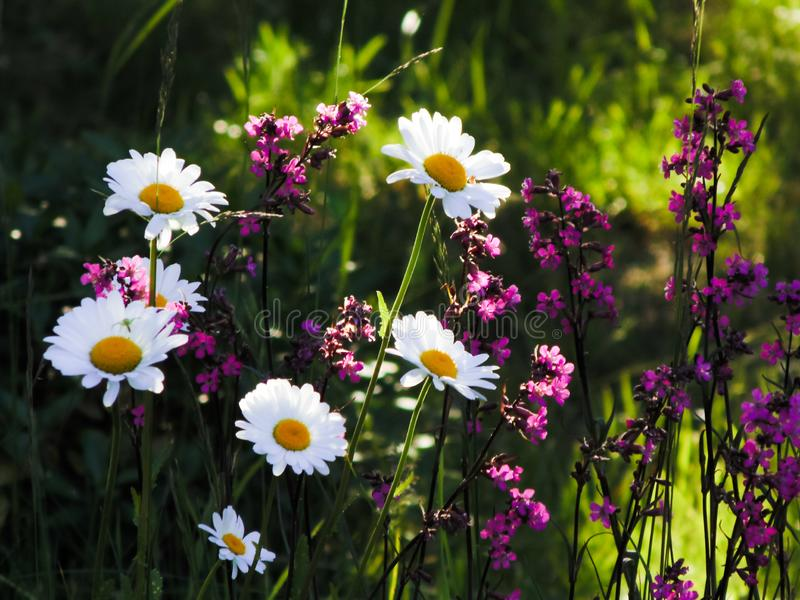 A mixture of meadow flowers grow on the field and bask in the sun stock photo