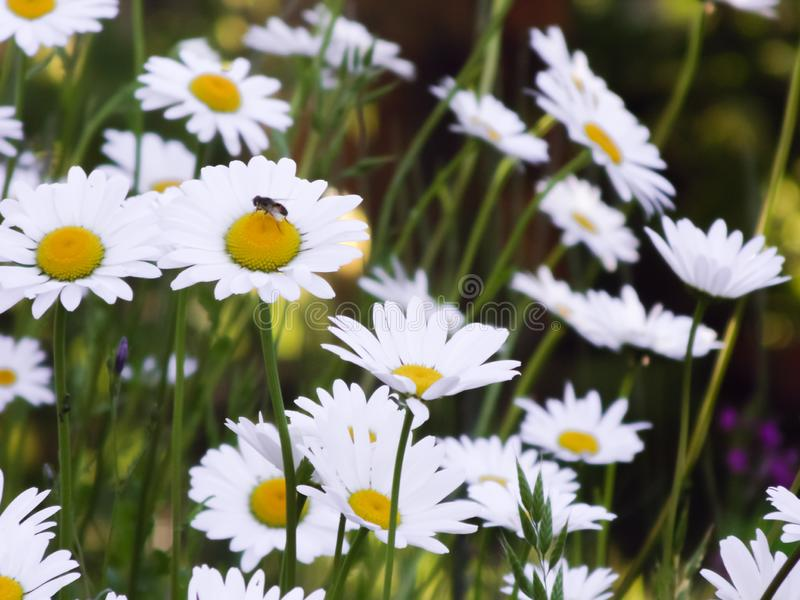 Tall field daisies grow in tall grass on a green meadow in a large garden. royalty free stock images