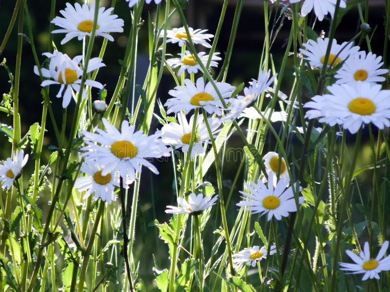 Tall field daisies grow in tall grass on a green meadow in a large garden. stock images