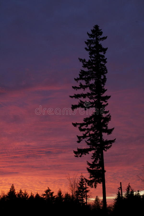 Tall Fir in Burning Sunset stock images