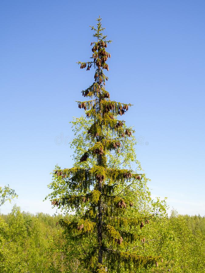 Tall fir tree with cones royalty free stock photo