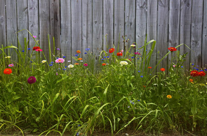 Flowers in front of wood fence. Zinnias, carnations, daisies and other flowers grow in front of a wood plank fence royalty free stock photo