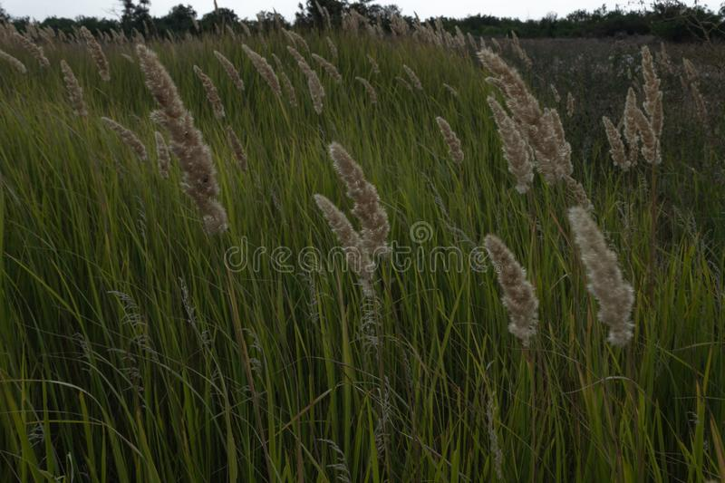 Summer sunset on a green field with tall grass and fluffy reeds against the background of tall trees and white sky stock photo