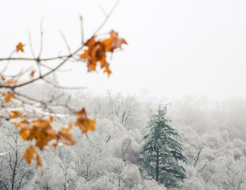 One evergreen stands tall above a forest of trees with barren white icey branches stock images