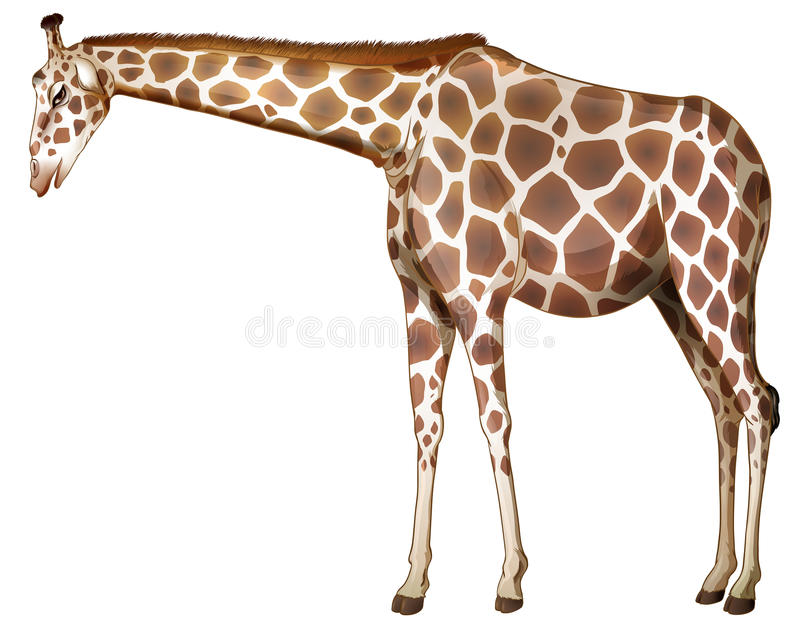 A tall giraffe. Illustration of a tall giraffe on a white background royalty free illustration