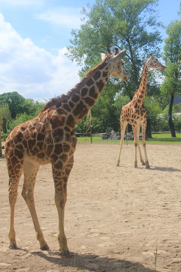 Download A Tall Giraffe In The Chester Zoo Stock Image - Image of millions, mammal: 93724611