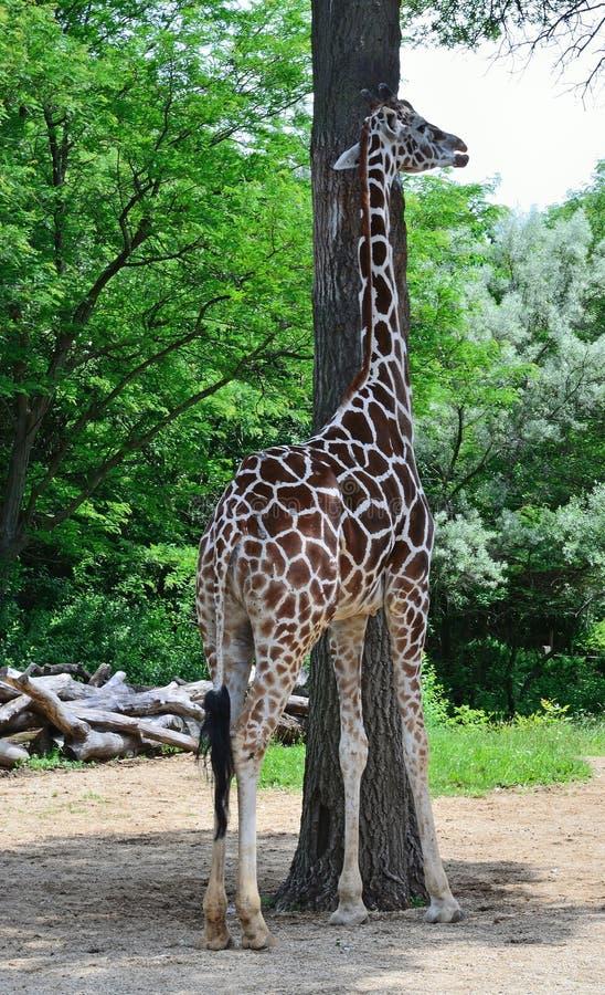 Tall giraffe and tall tree stock photography