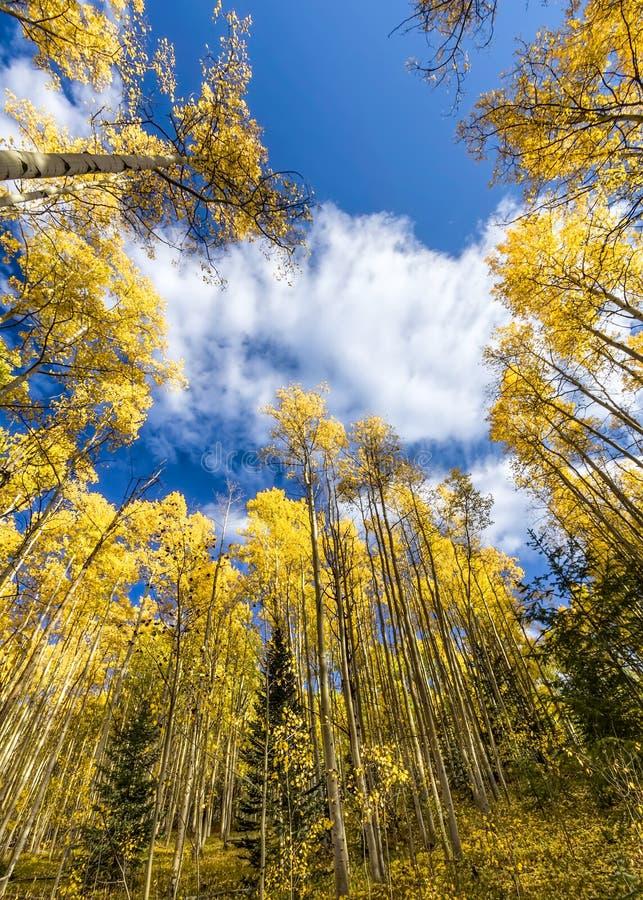 Tall Golden Aspens royalty free stock photo