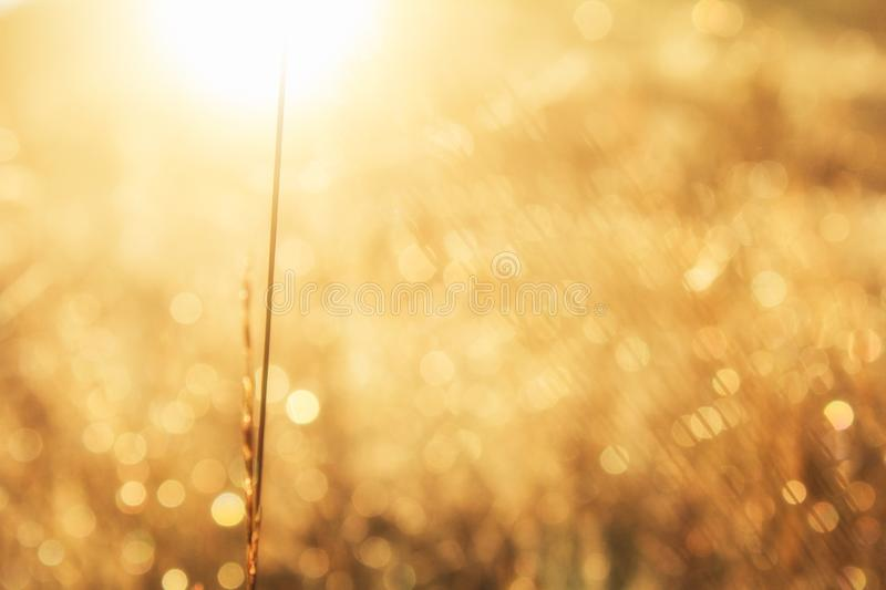 Meadow grass in sepia in sun glare. Sunny rays illuminate grass in meadow. Dry grass with stock photo