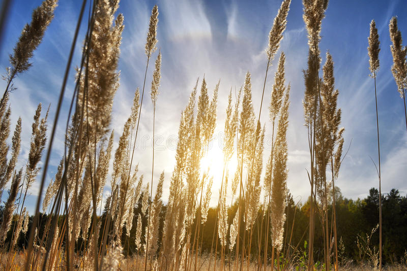 Tall grass in a field on the background of the setting sun and blue sky. Bright Sunny summer photo. Golden ears of grass swaying. In the wind in the sun stock image