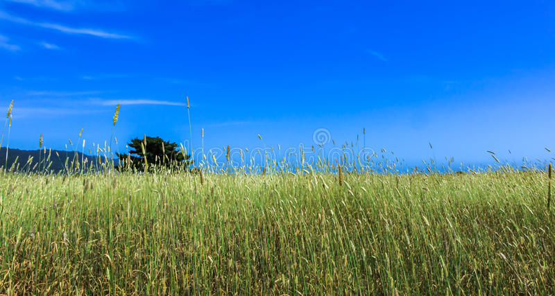 Tall Grass in a Field With Blue Sky. Tall Grass in a Largd Field With Blue Sky royalty free stock photo