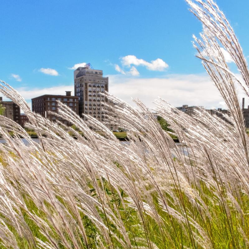 Tall Grass in Milwaukee royalty free stock photography