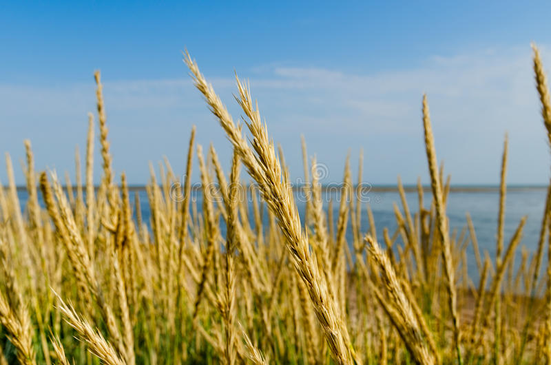 Download Tall Grass On A Sea Shore Royalty Free Stock Photo - Image: 24770645