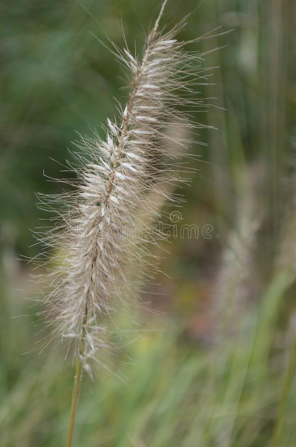Grass Seed stock images