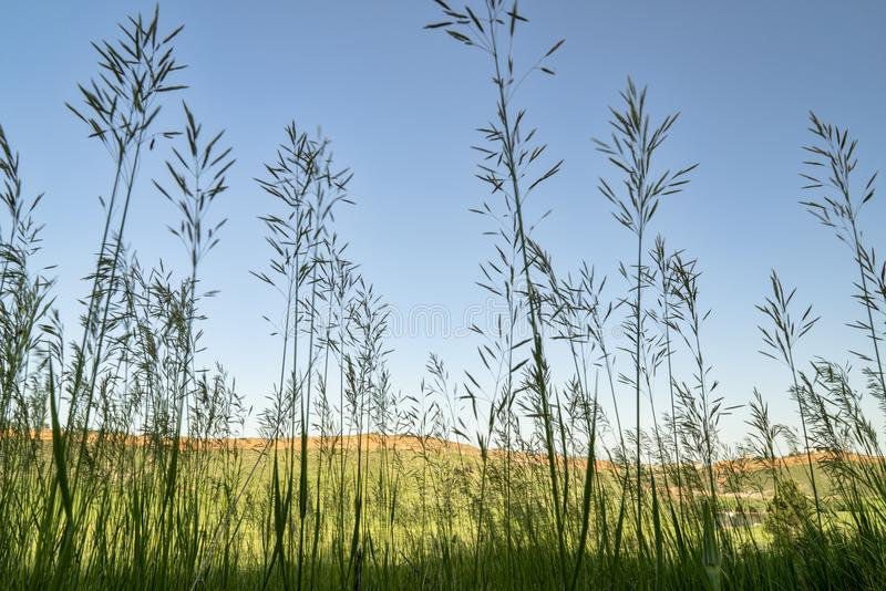 Tall grass silhouette in Colorado foothills. Tall grass silhouette against Colorado foothills landscape, late spring scenery stock photography