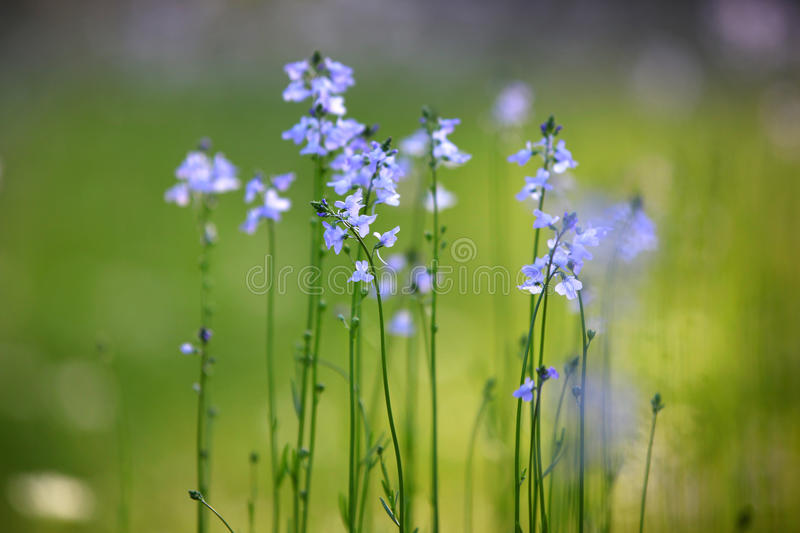 Tall Grass With Tiny Purple Flowers Stock Photo