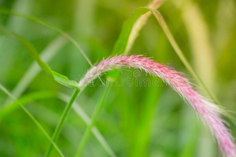 Tall grass in a tranquil field. Macro close-up shot with purple and pink bloom on the top of the grass blade in a par stock photo