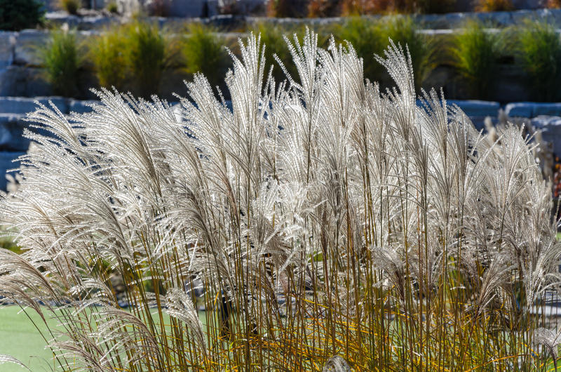 Tall grasses in garden foreground. Tall grasses in the foreground of some garden royalty free stock images