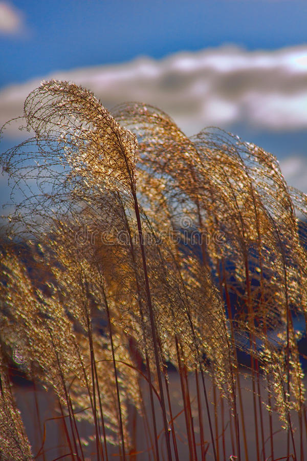 Tall Grasses. Sunlit grasses under a blue sky royalty free stock images
