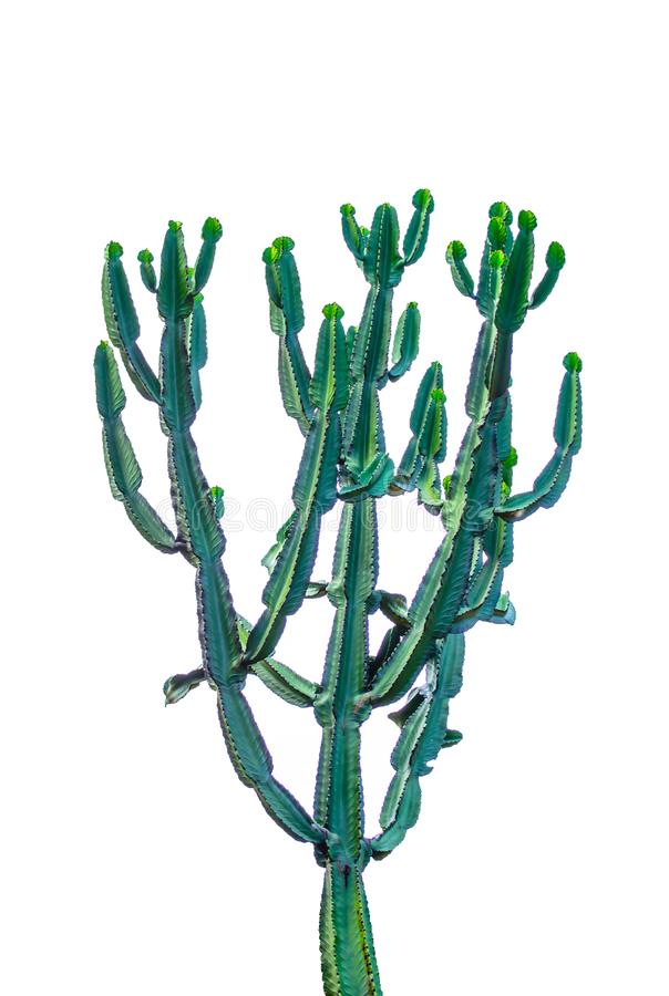 Tall green cactus isolated on white background. royalty free stock photo