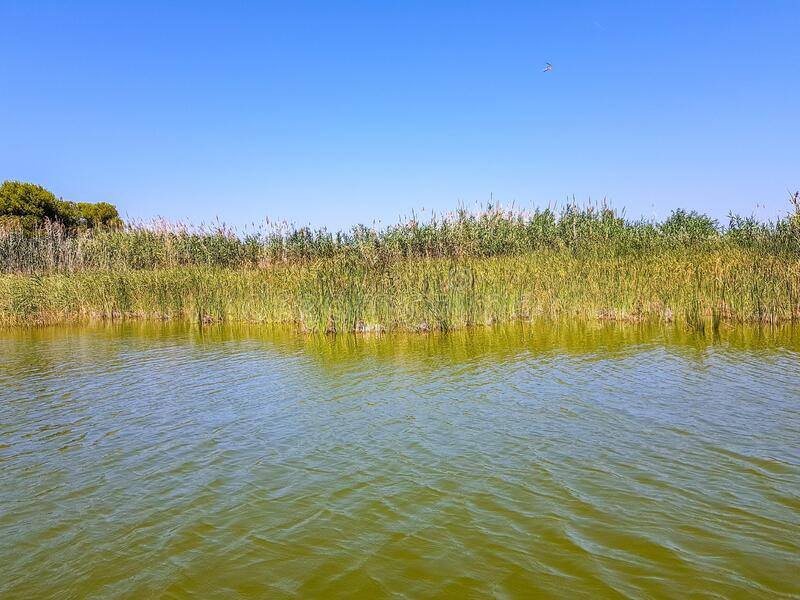 Tall green grass branches growing in the lake with the sky in the background. The tall green grass branches growing in the lake with the sky in the background stock photos
