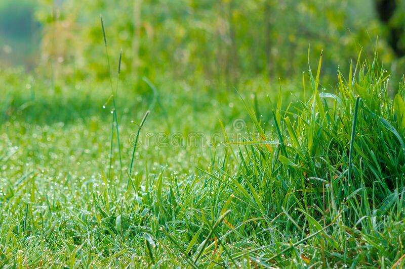 Tall green grass close up. freshness in nature concept. Tall green grass close up. beautiful outdoor scenery on a sunny morning. freshness in nature concept stock images
