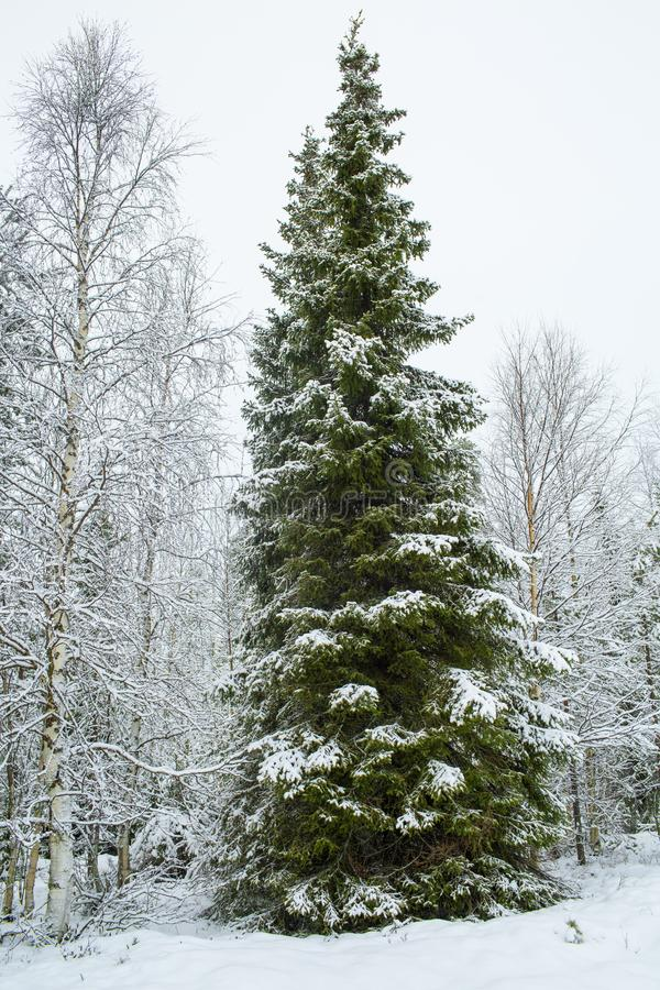 A Tall Green Pine Trees Covered With Snow In Winter, Christmas T stock image