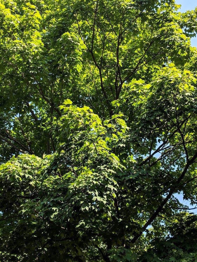 Tall Green Trees in de Summertime stock fotografie