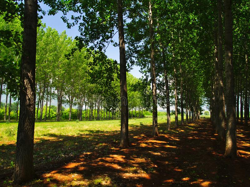 Tall green trees forest in Northern Greece. Row of trees on brown land, light patches on ground royalty free stock photography