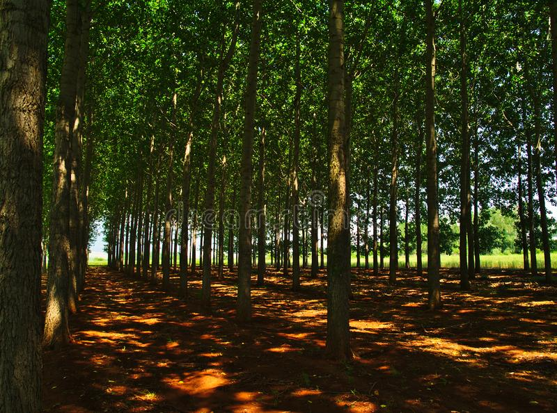 Tall green trees forest in Northern Greece. Row of trees on brown land, light patches on ground royalty free stock photos