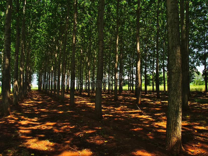 Tall green trees forest in Northern Greece. Row of trees on brown land, light patches on ground stock photo