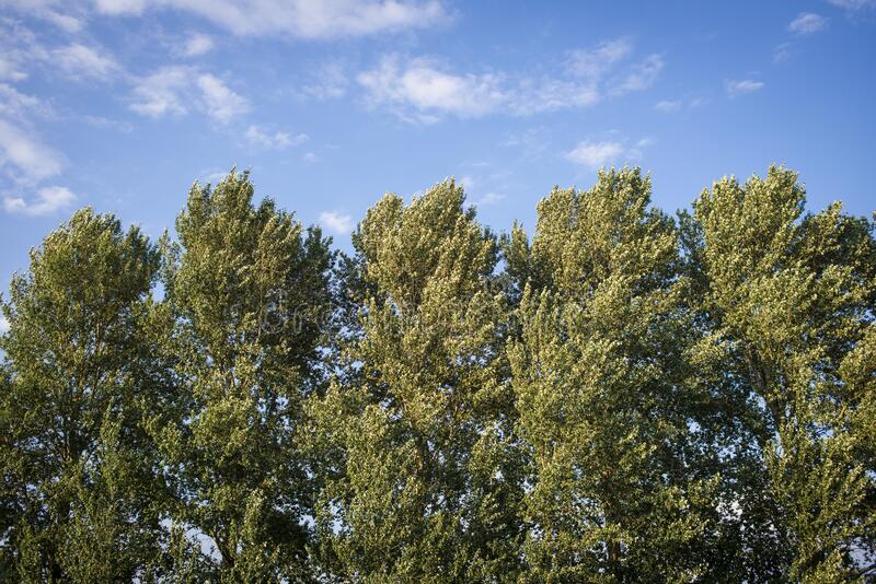 Tall green trees under the pure blue sky during the daytime. The tall green trees under the pure blue sky during the daytime royalty free stock photography