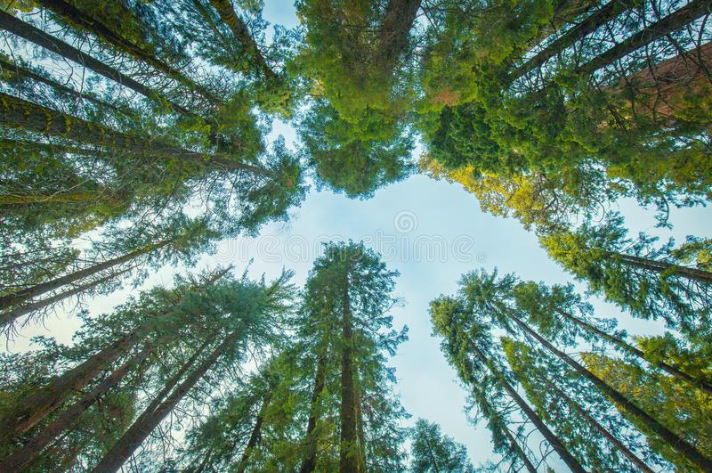 Tall Green Trees. A upward look a large collection of tall green trees in the Sequoia National Forest stock photo