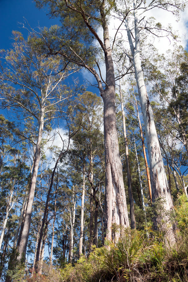 Download Tall Gum Trees Stock Photos - Image: 36712603