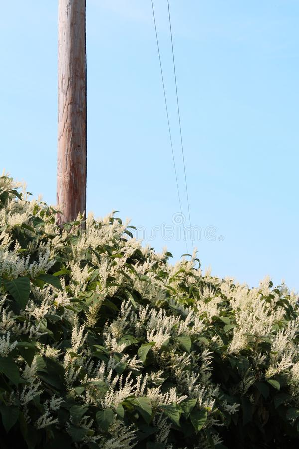 Tall hedge of Himalayan fleece vine invasive species. Vertical aspect royalty free stock image