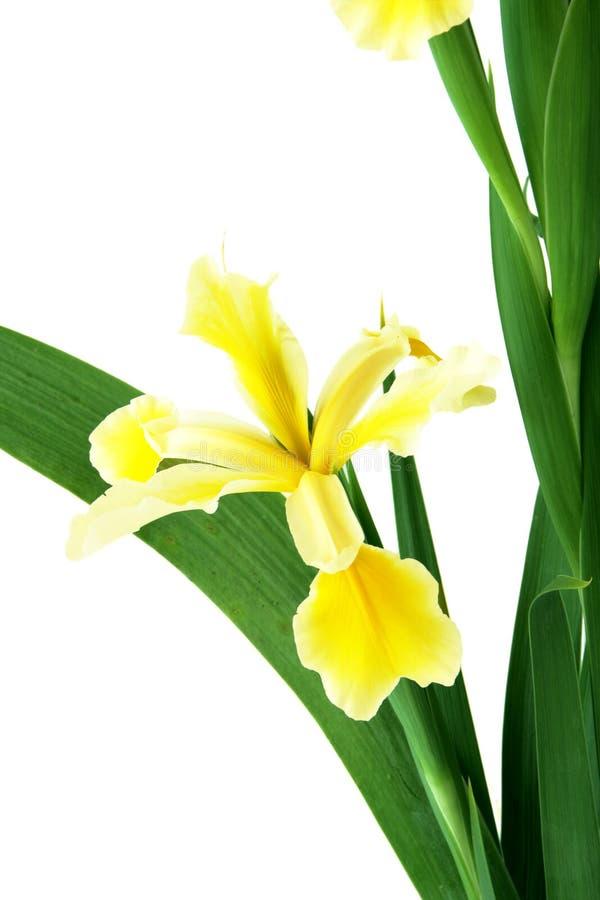 Tall Iris Stock Photo