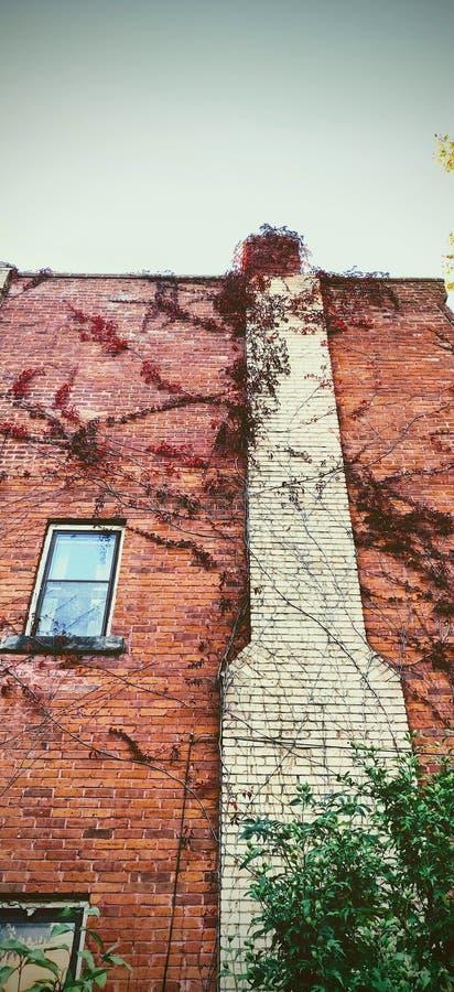 Tall ivy cobriu a parede vermelha de tijolos com chaminé branca e wimdow imagens de stock