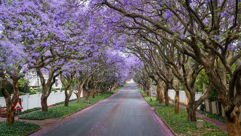 Tall Jacaranda trees lining the street of a Johannesburg suburb in the afternoon sunlight royalty free stock image