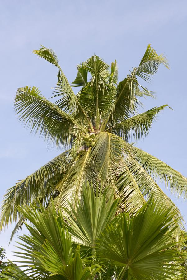 Tall jungle palm tree. Palm trees in the Philippine island of mindoro stock photo
