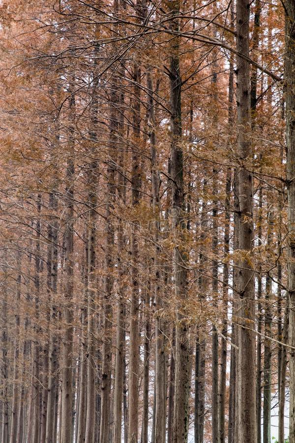 Tall lanky trees in autumn royalty free stock photography