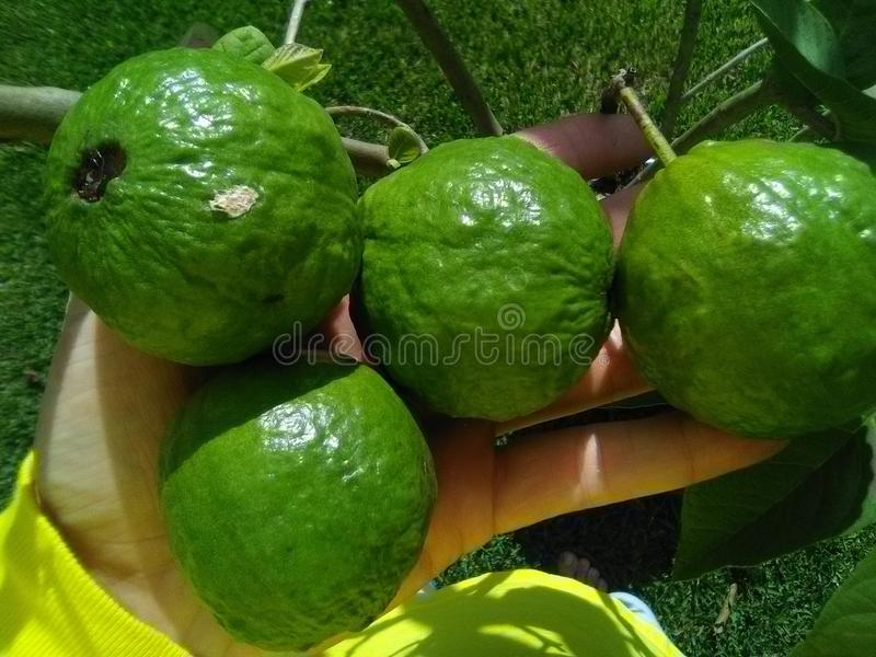 Growing Tropical Guava Fruits In Louisiana royalty free stock image