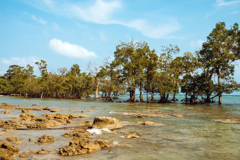 Tall mangrove trees Rhizophora stock photos