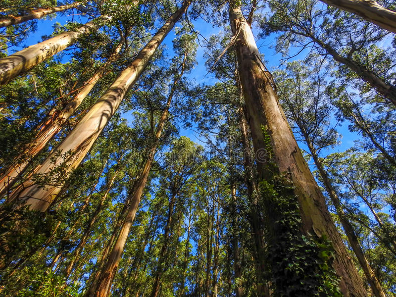 Tall mountain ash trees. In Dandenong Ranges, Victoria, Australia. Eucalyptus regnans, known variously as mountain ash, swamp gum, or stringy gum, is a species royalty free stock photo