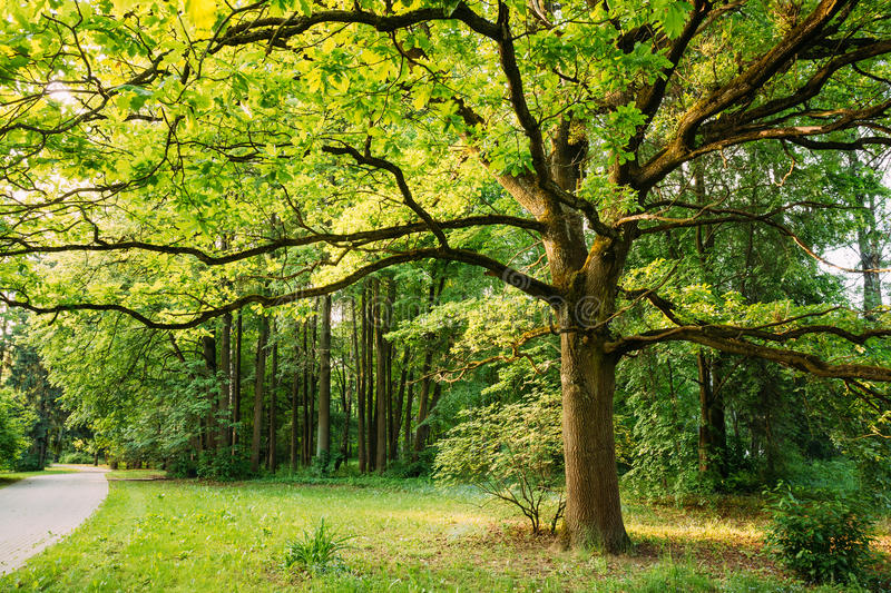 Tall Oak Tree in Summer Park. Spring Nature. Deciduous Forest. Green Oak Tree in Summer Park Forest. Spring Nature Landscape In Belarus Or European Part Of stock photos