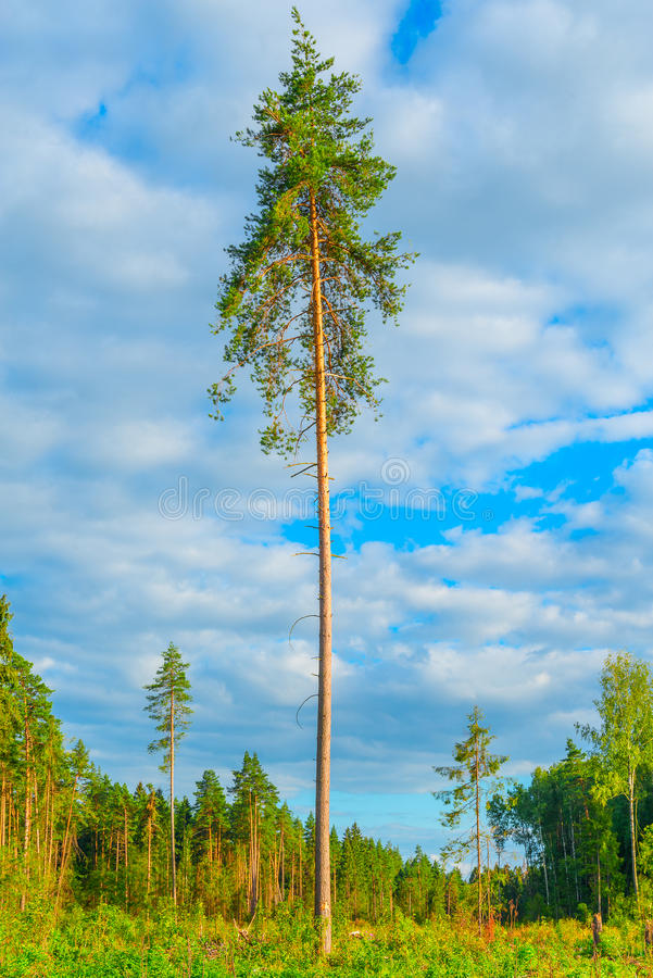 Tall old pine tree. stock photography