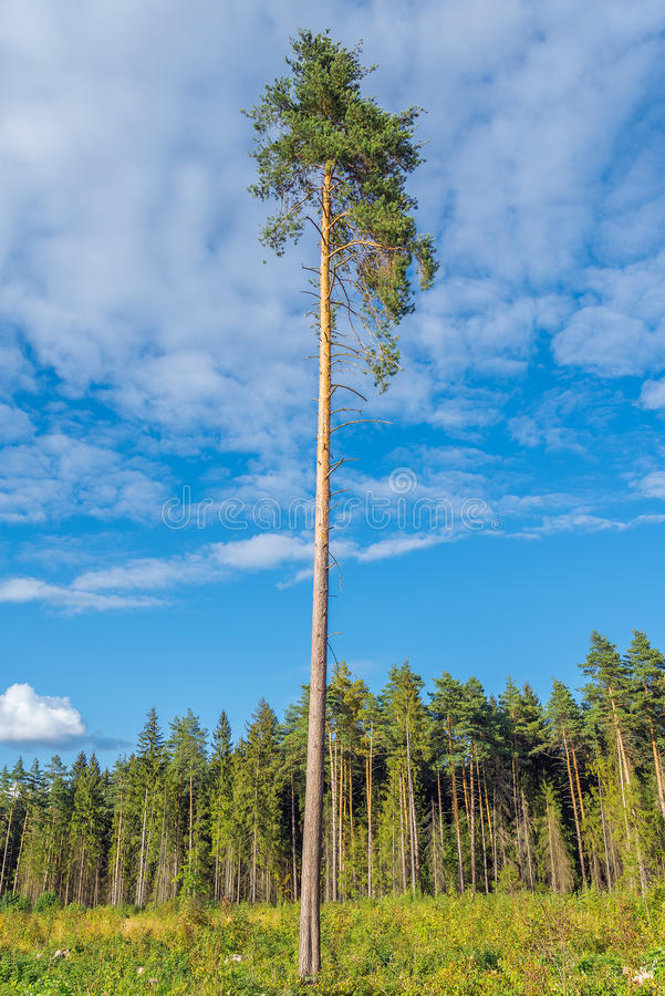 Tall old pine tree. royalty free stock photo