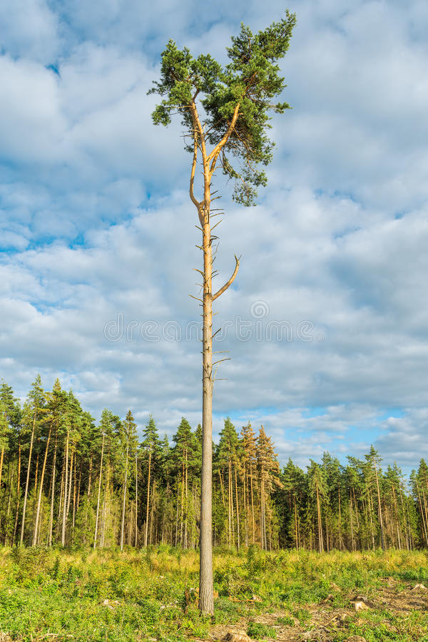 Tall old pine tree. stock photo