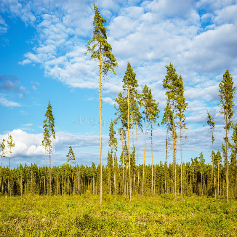 Tall old pine trees. royalty free stock image