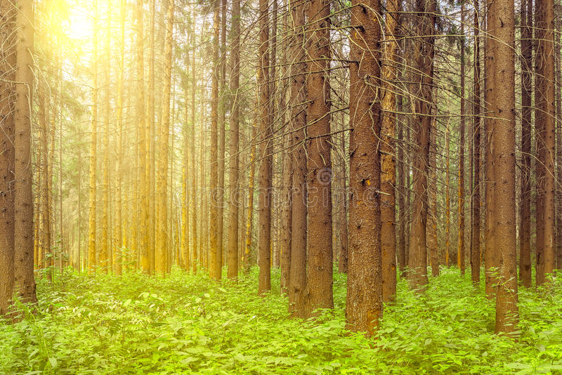 Tall old pine trees. royalty free stock photography